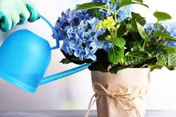 Flüssigdünger für Kübel-Hortensien