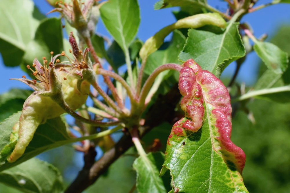Mehlige Apfelblattlaus