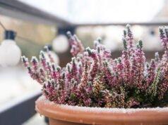 Balkonpflanzen im Winter