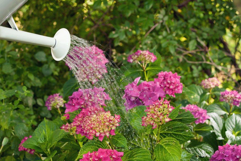 Hortensien im Kübel gießen