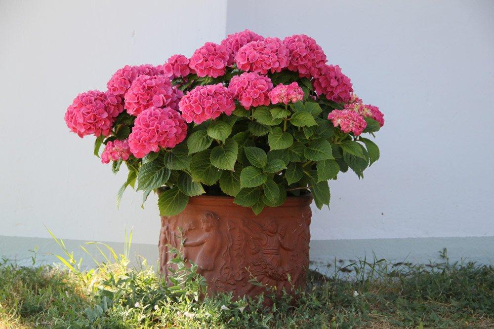 Hortensien im Kübel überwintern