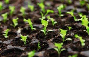 Feldsalat vorziehen