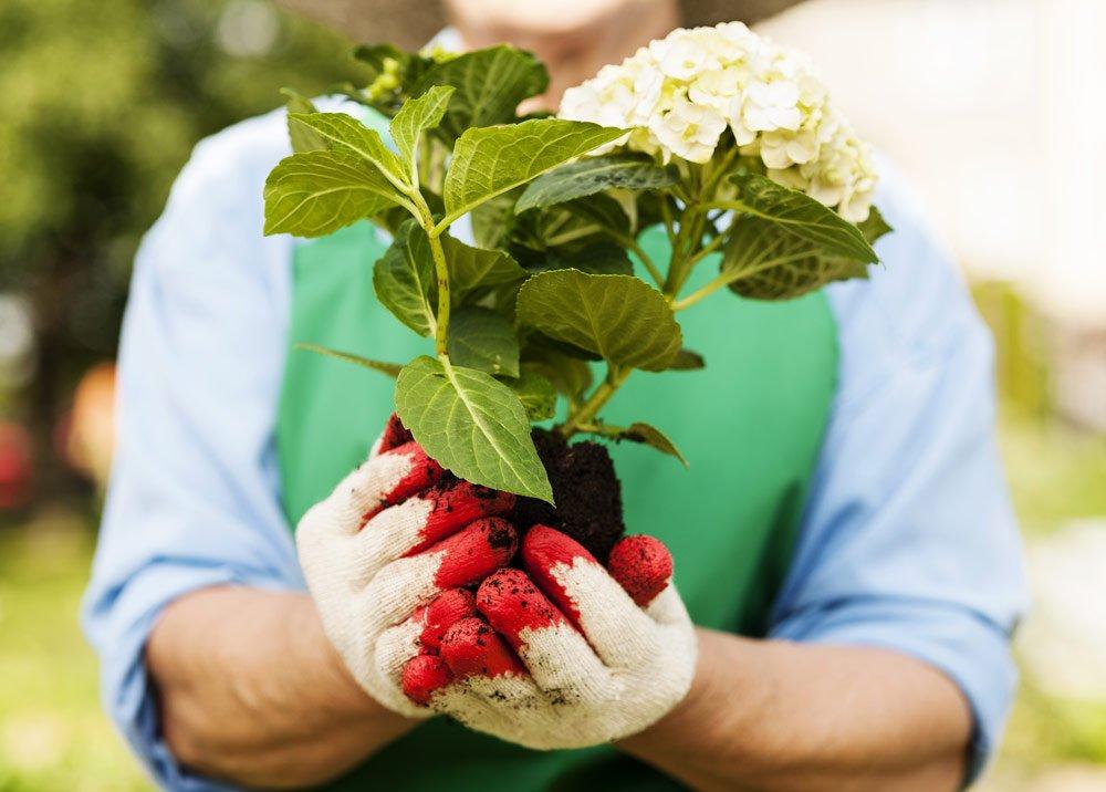 Hortensien umpflanzen – So wird's gemacht
