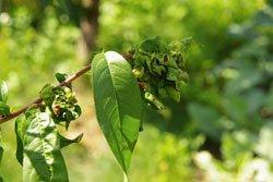 Kräuselkrankheit an Pfirsichen