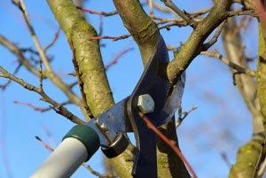 Pfirsichbäume müssen regelmäßig geschnitten werden