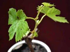 Weinrebe durch Stecklinge vermehren