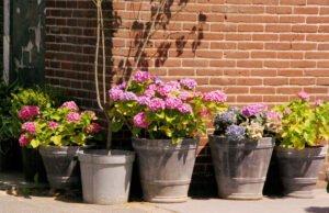 Hortensien im Kübel pflanzen