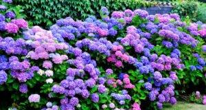 Hortensien Krankheiten Schädlinge