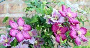 Clematis im Garten