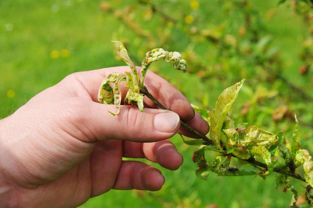 Kräuselkrankheit am Pfirsichbaum