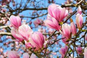 Geliebte Magnolie im Kübel halten – 6 Tipps für die Topfhaltung &BG_82