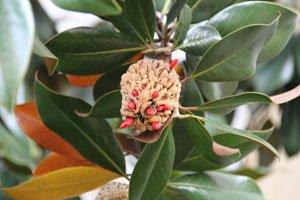 So sieht eine Balgfrucht aus
