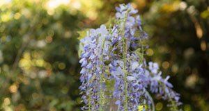 Blauregen zum Hochstamm erziehen - Sogedeiht die Pflanze auch in Kübeln