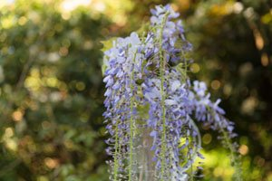 Blauregen zum Hochstamm erziehen - So gedeiht die Pflanze auch in Kübeln