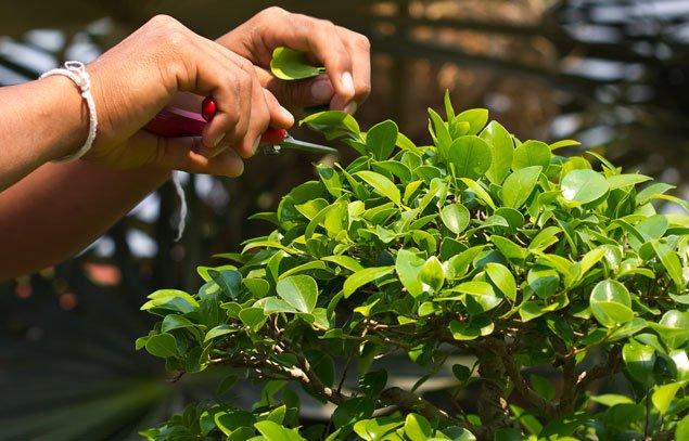 Bonsai schneiden regeln Tipps