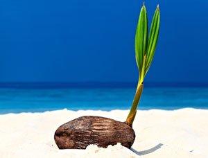 Kokospalmen müssen ca. alle 3 Jahre umgetopft werden
