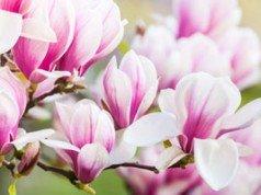 magnolie krankheiten und sch dlinge erkennen und bek mpfen tipps f r deinen. Black Bedroom Furniture Sets. Home Design Ideas