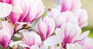 meine magnolie tipps f r deinen garten. Black Bedroom Furniture Sets. Home Design Ideas