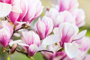 Magnolien lassen sich leicht vermehren