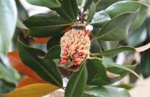 Magnolien aus Samen ziehen