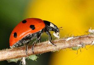 Marienkäfer vertilgt Blattläuse