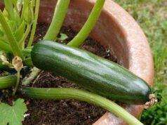 Zucchini auf Balkon oder Terrasse anbauen und ernten