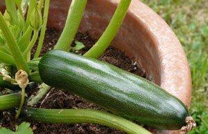 Zucchini im Pflanzkübel