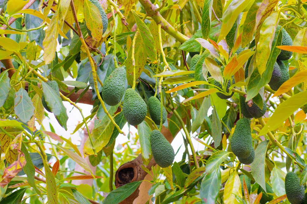 Avocadobekommt braune Blätter