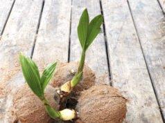 Kokospalme umtopfen