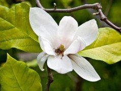 magnolie im k bel halten 6 tipps f r die topfhaltung. Black Bedroom Furniture Sets. Home Design Ideas