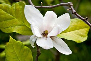 Magnolien werden nur selten befallen