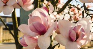 Magnolie vermehren