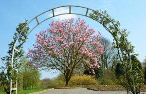 Magnolienbaum umpflanzen