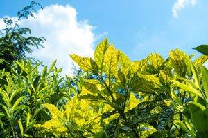 Helle Punkte auf den Blättern deuten auf die Schrotschusskrankheit hin