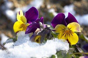 Stiefmütterchen brauchen im Winter Schutz