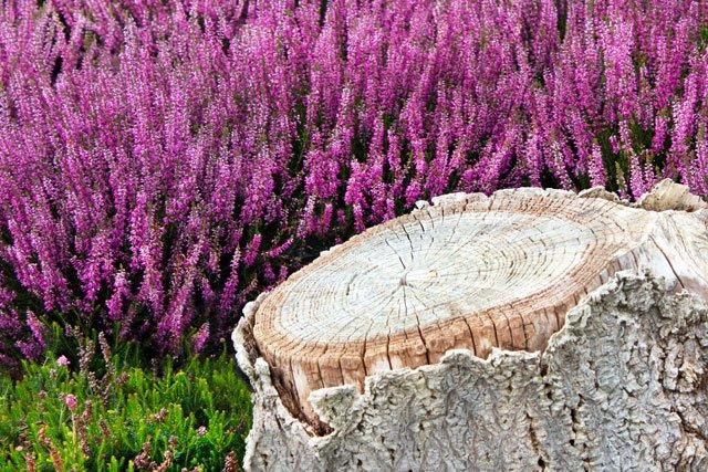 Heidekraut und Holzstumpf