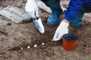 Knoblauch lässt sich über die Zehen vermehren