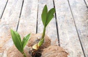 Kokosnusspalme ziehen