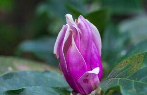 Magnolie: Krankheiten und Schädlinge