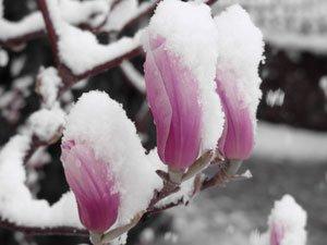 Magnolien brauchen im Winter Schutz