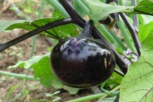 Auberginen sind wärmeliebende Pflanzen