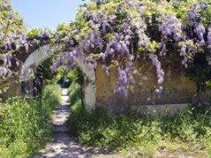 Blauregen pflanzen – Tipps für ein überschäumendes Blütenmeer
