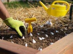 Knoblauch vermehren