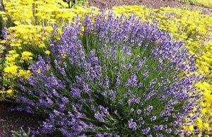 Lavendel überwintern – So blüht er auch im nächsten Jahr wieder