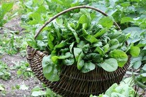 Spinat einfrieren Möglichkeiten Tipps