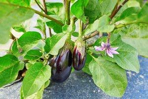 Auberginen brauchen viele Nährstoffe