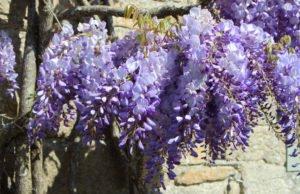 Blauregen vermehren