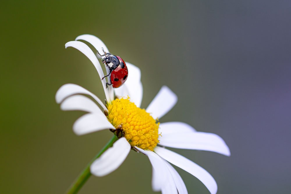 Marienkäfer gegen Schadinsekten auf Mageriten