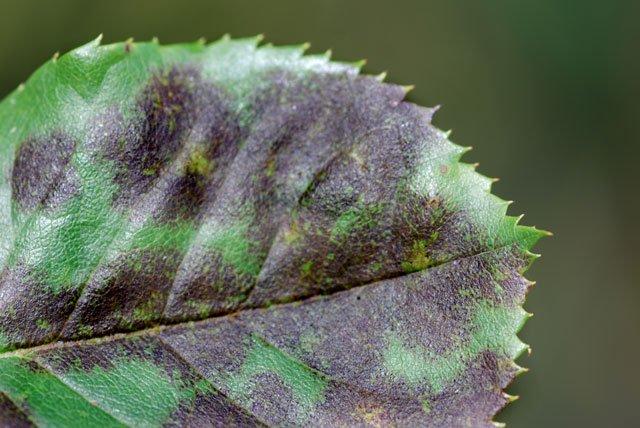 Rosenkrankheiten – Ursachen, Schadbilder und Bekämpfung