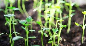 Sellerie vorziehen – Schritt für Schritt zu robusten Pflanzen